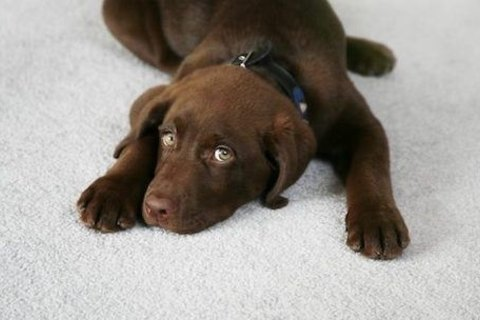 Can your carpet be saved from pet urine?