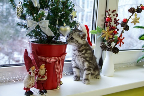 Holiday Plants that are Toxic to Pets.