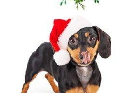 Holiday plants that can be toxic to your pets.