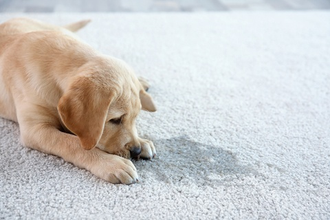 Pet Urine Stain & Odor Removal